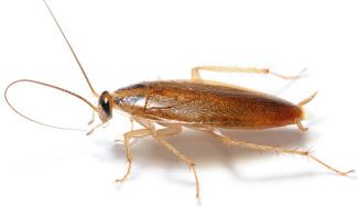 désinsectisation blattes